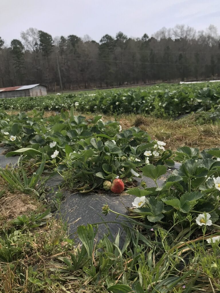 Strawberries blooming in March